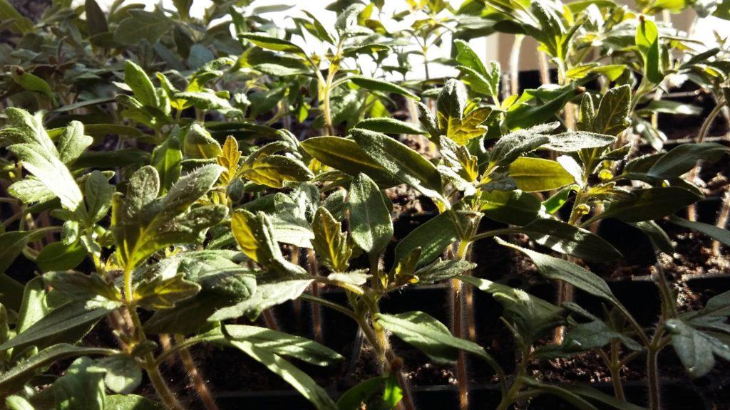 tomaatin kasvattaminen siemenistä