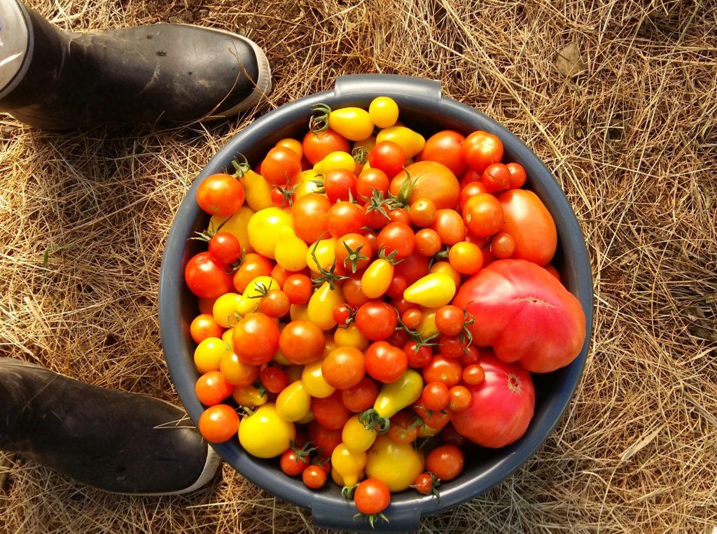 tomaatin kasvatus