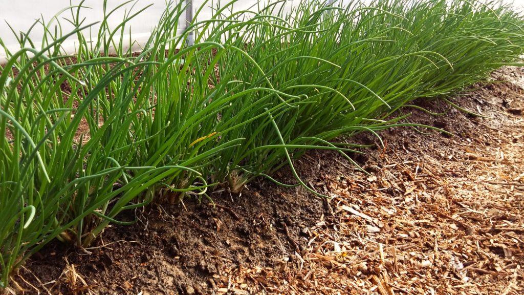 RUohosipuli on kevään ensivihannes