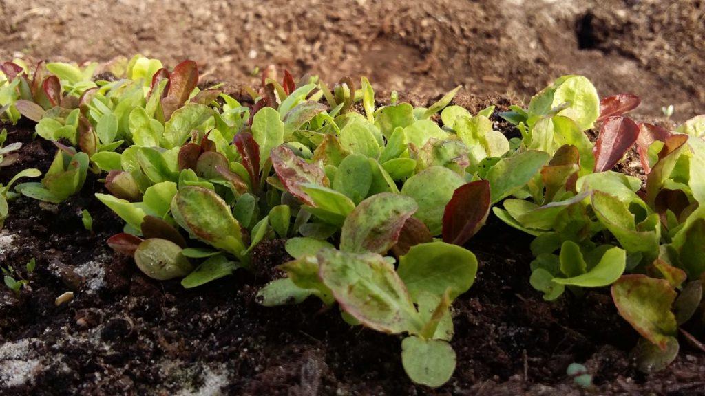 salaatin taimet