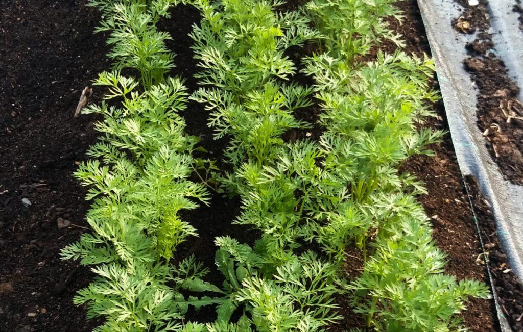 Porkkanat kasvoivat alkukesässä onnistuneesti