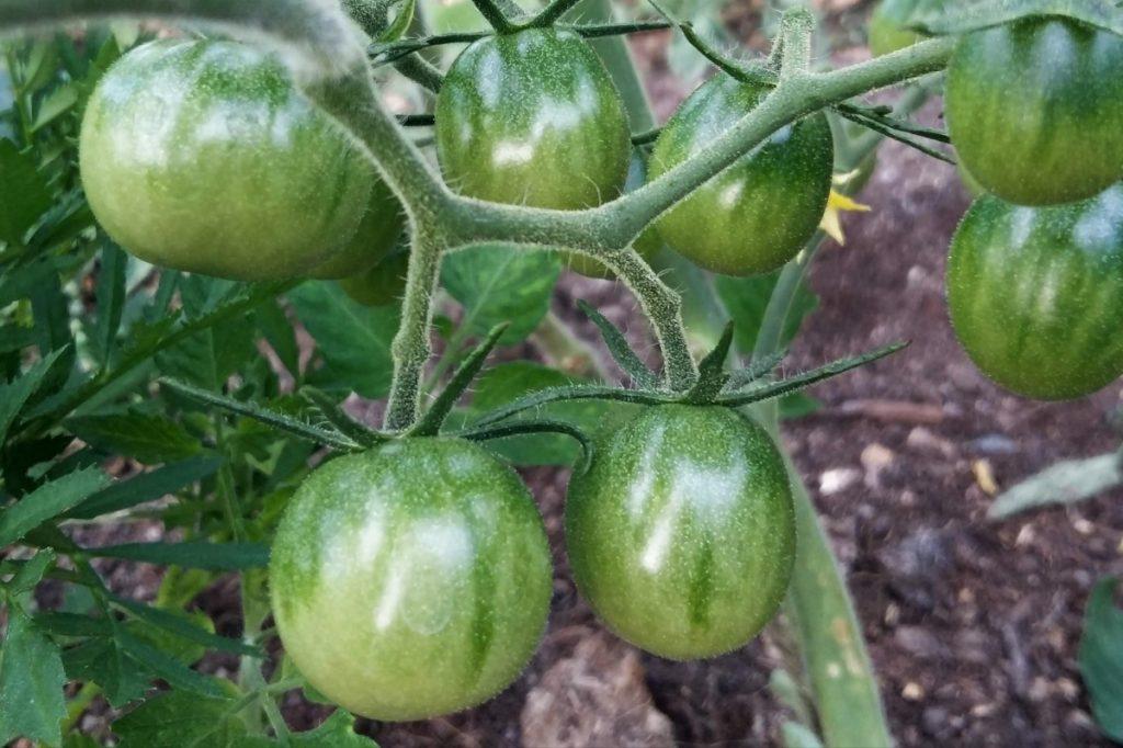 Tomaatit viivästyivät alkukesän viileän sään vuoksi